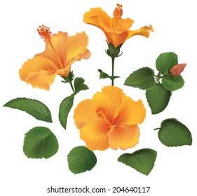 set of yellow hibiscus flowers with leaves isolated on white background