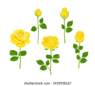 Set of yellow roses of different shapes. Vector illustration of blooming flowers and buds with stems and green leaves in cartoon flat style. Floral collection.