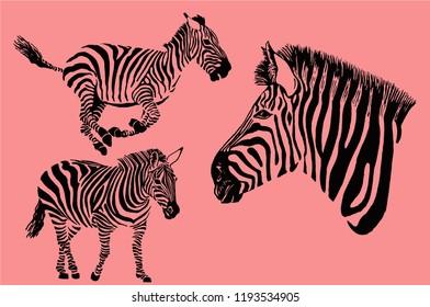 Set of zebra isolated on pink background,modern typography design