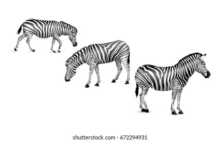 Set of zebra, standing, walking and bend down.  Wild animal texture. Striped black and white. Illustration isolated on white background.