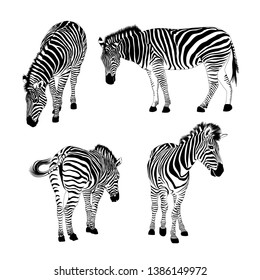 Set of zebras. Wild animal texture. Striped black and white. Vector illustration isolated on white background.