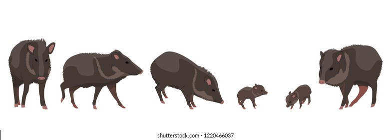 Seth wild animals Peccari. Animals of Amazonia and South America. Vector
