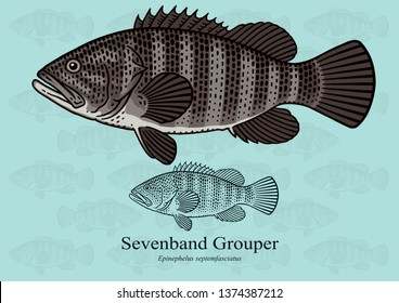 Seven Band Grouper. Vector illustration with refined details and optimized stroke that allows the image to be used in small sizes (in packaging design, decoration, educational graphics, etc.)