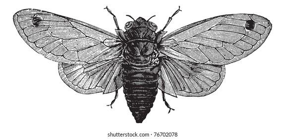 Seventeen-Year Cicada or Magicicada sp., vintage engraving. Old engraved illustration of a Seventeen-Year Cicada. Trousset Encyclopedia