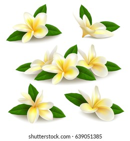 Several realistic white-yellow plumeria (frangipani) flowers with green leaves isolated on white background. Vector illustration.