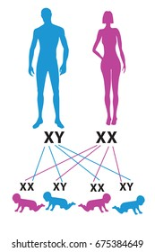 Sex Determination in Humans. X and Y chromosome: gender determination