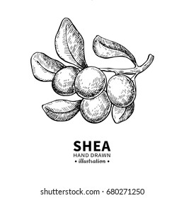 Shea butter vector drawing. Isolated vintage  illustration of berry on branch. Organic essential oil engraved style sketch. Beauty and spa, cosmetic ingredient. Great for label, packaging design.