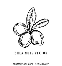 Shea nuts with leaves black and white drawing isolated on white background. Vector