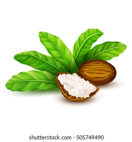 Shea nuts with leaves in vector. Vector shea nuts with shea butter and green leaves.