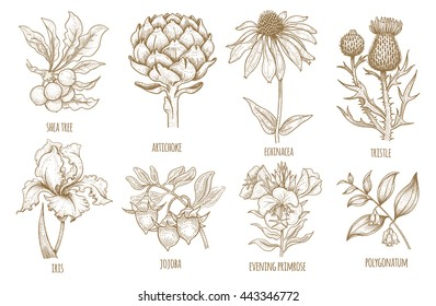 Shea tree, echinacea, artichoke, thistle, iris flower, jojoba, evening primrose, polygonatum. Set of medical herbs. Illustration of graphics isolated on white background. Vector.