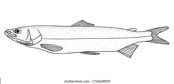 Sheefish (Stenodus leucichthys). Black and white hand drawing realistic vector image.
