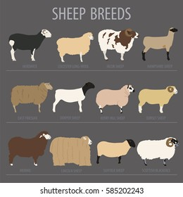 Sheep breed icon set. Farm animal. Flat design. Vector illustration