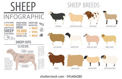 Sheep breed infographic template. Farm animal. Flat design. Vector illustration