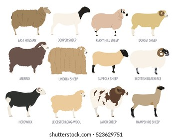 Sheep breed isolated icon set. Farm animal. Flat design. Vector illustration