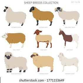 Sheep breeds collection 15. Farm animals set. Flat design. Vector illustration