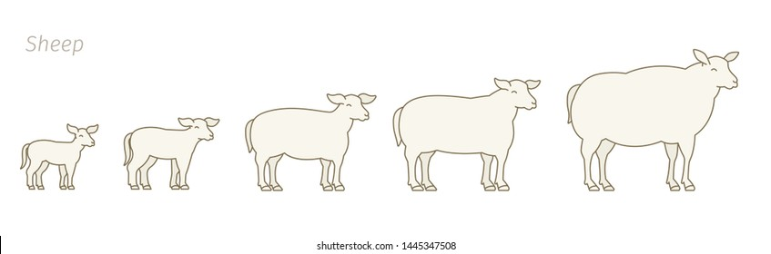 Sheep farm. Stages of mutton growth set. Breeding ewe. Wool lamb production raising. Yeanling grow up animation progression. Flat vector.