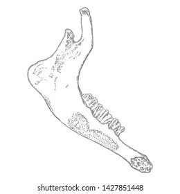 Sheep or goat jaw. Aged teeth bones. Farm, domestic animal freehand line black ink hand drawing. Witchcraft magic, occult attribute decorative element. Vector.