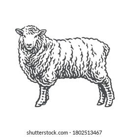 Sheep. Hand drawn engraving style illustrations. Etched vector illustration.