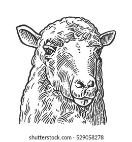 Sheep head. Hand drawn in a graphic style. Vintage vector engraving illustration for poster, web. Isolated on white background