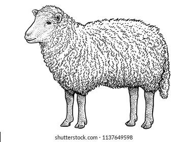 Sheep illustration, drawing, engraving, ink, line art, vector