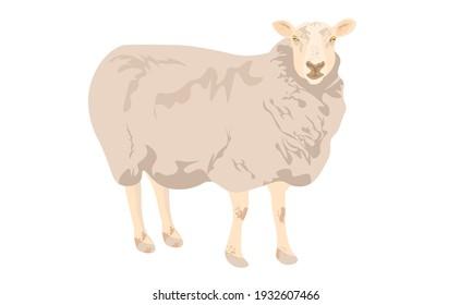 Sheep or ram. cartoon vector cute wool sheep farm. Sheep for a farm concept. happy vector white lamb on white background