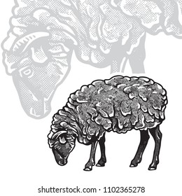 Sheep - realistic black and white vector illustration. Cute farm animal image in profile in engraving style. Portrait side view, graphic design element for logo or template.