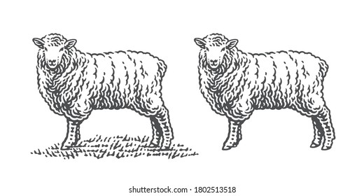 Sheep standing on a grass. Hand drawn engraving style illustrations. Etched vector illustration.
