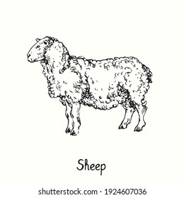 Sheep standing side view. Ink black and white doodle drawing in woodcut outline style. Vector illustration