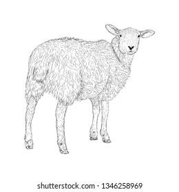 Sheep vector illustration, a farm animal