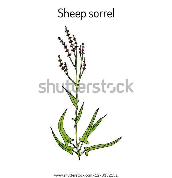 Sheep's sorrel (rumex acetosella), or sour weed, medicinal plant. Hand drawn botanical vector illustration