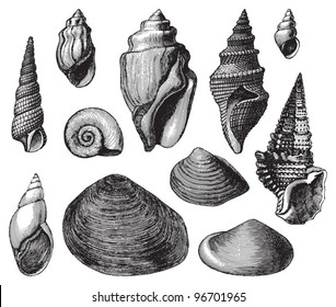 Shell fossils (Tertiary period) / Vintage illustration from Meyers Konversations-Lexikon 1897