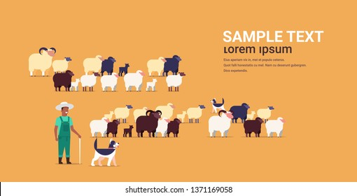shepherd with stick and dogs herding flock of white black sheeps african american male farmer breeding sheep wool farm concept farmland flat full length copy space horizontal