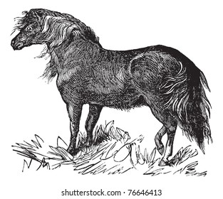 Shetland Pony or Equus ferus caballus, vintage engraving. Old engraved illustration of a Shetland Pony. Trousset encyclopedia.