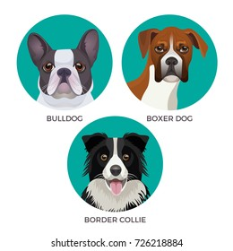 Short hair bulldog, boxer dog and border collie popular canine purebreds