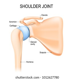 Shoulder (glenohumeral) joint. Human anatomy. Vector diagram. labeled