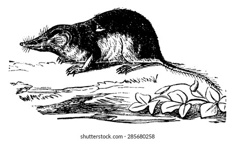 Shrew or shrew mouse, vintage engraved illustration. Natural History of Animals, 1880.
