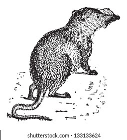 Shrew or Soricidae, vintage engraved illustration. Dictionary of Words and Things - Larive and Fleury - 1895