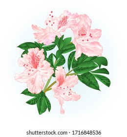 Shrub rhododendron light pink twig with flowers and leaves watercolor  vintage hand draw vector illustration