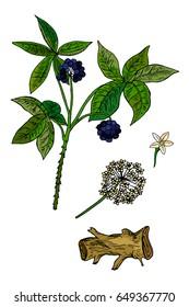 Siberian ginseng, eleuthero or ciwujia. Eleutherococcus senticosus. Medical plant. Vector illustration isolated on white background.