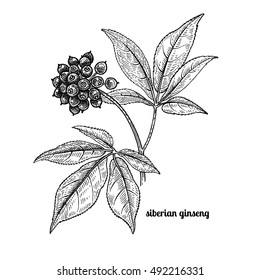 Siberian ginseng. Medical plant. Vector illustration isolated on white background. Vintage engraving style.