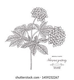 Siberian ginseng plant. Eleutherococcus senticosus, eleuthero hand drawn. Root, leaves and berries of Ginseng isolated on white background. Medicinal plant collection. Vector illustration.