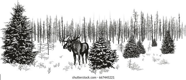 Siberian moose in winter forest.