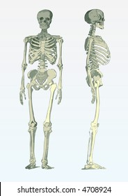 side and front view of a skeleton