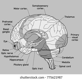 Primary motor cortex images stock photos vectors shutterstock side view diagram of human brain ccuart Image collections