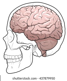Side view illustration of a human brain in a skull.