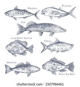 Side view on ocean and sea fish sketch. Set of isolated bluefish and mackerel, pike and long-eared sunfish, tarpon and weakfish, black sea bass. Underwater or river animal. Sport fishing trophy