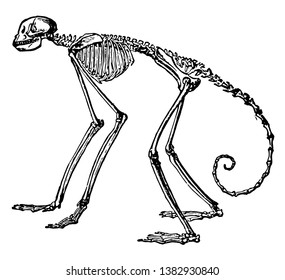 Side View of Skeleton of South American Spider Monkey in which the proportion in the spider monkeys of the genus Ateles, vintage line drawing or engraving illustration.