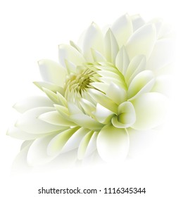 Side view of white chrysanthemum flower isolated on white background.