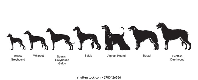 Sighthounds - list of hunting dogs by size - greyhounds, gazehounds, hounds - isolated vector illustration