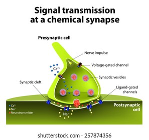 Signal transmission at a chemical synapse. one neuron releases neurotransmitter molecules into a synaptic cleft that is adjacent to another neuron.
